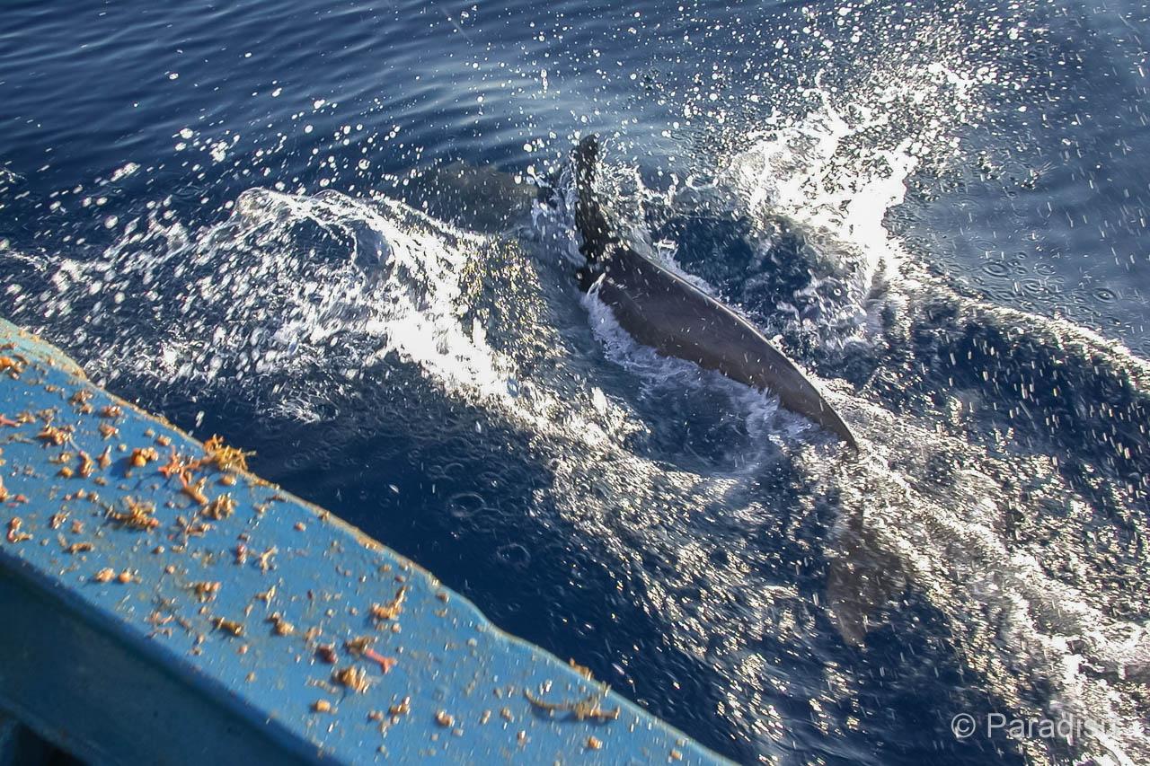 Delfin An Der Küste Von Korsika - Dauphin