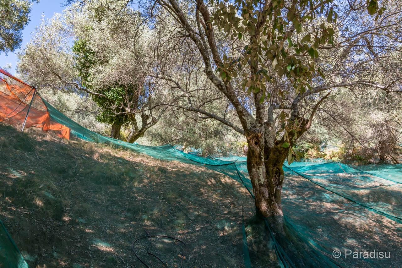 Olivenbäume Mit Netzen Auf Korsika