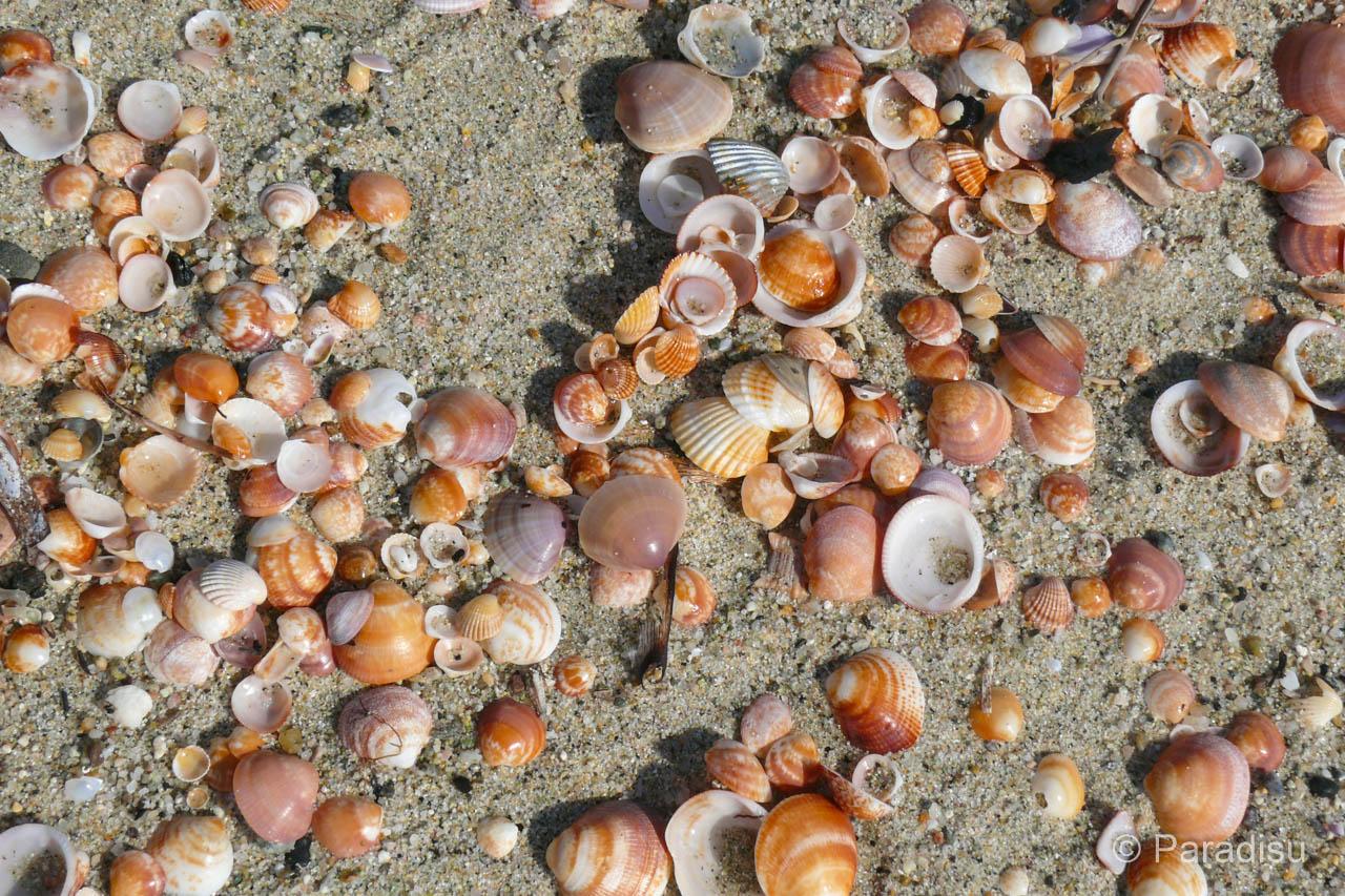 Muscheln Am Strand Von Pinia